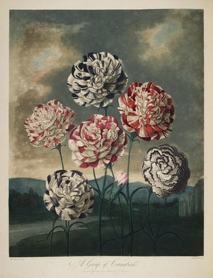 A Group of Carnations