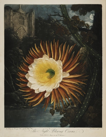 The Night-Blowing Cereus