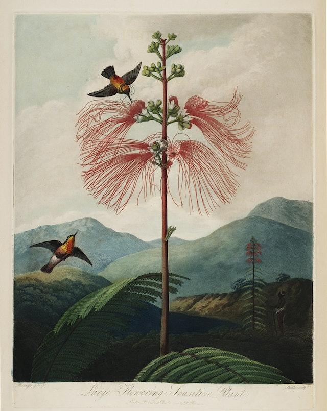The Flowering Sensitive Plant