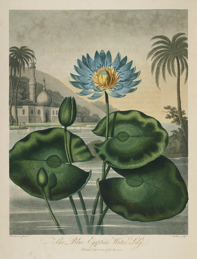 The Blue Egyptian Water-Lily