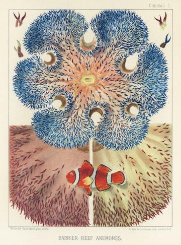 Barrier Reef Anemones