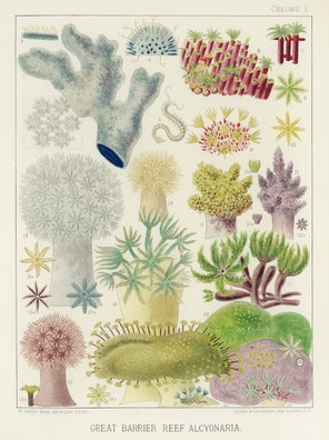 Great Barrier Reef Alcyonaria