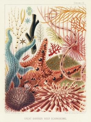 Great Barrier Reef Echinoderms