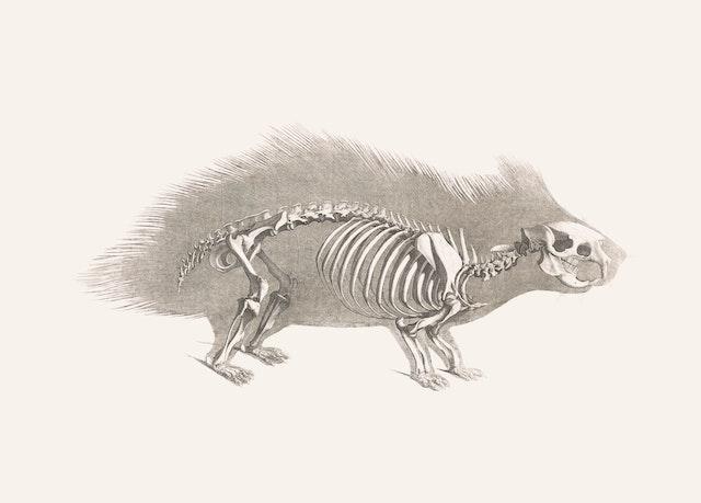 Porcupine Skeleton