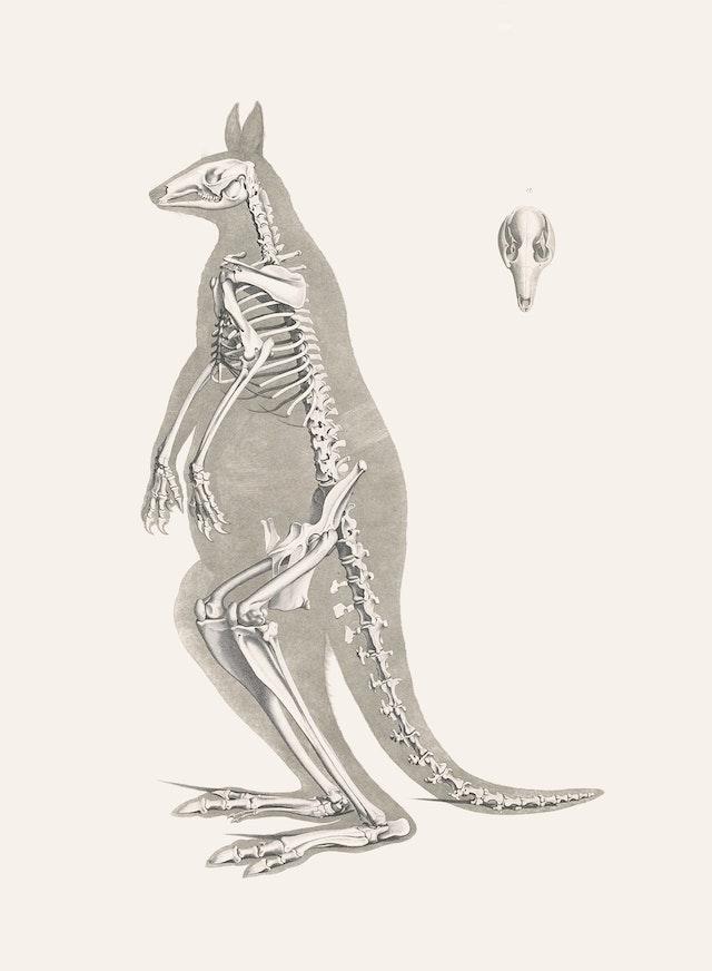 Red Kangaroo Skeleton